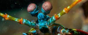b_300_0_16777215_00_https___hypescience.com_wp-content_uploads_2019_12_olhos-visao-incrivel-camarao-mantis.jpg