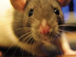 Ratos têm visão dupla que permite enxergar todo o ambiente ao redor